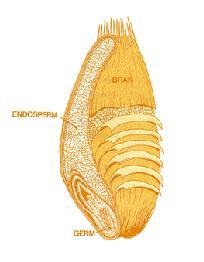 Diagram of a whole grain kernel