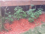 Tomato plants (give or take an oak tree)